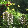 Acanthus - Bear's Breeches (Acanthus spinosus (Bear's breeches))