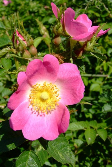 Wild Rose, I don't know why wild, if I was as good looking as that I be happy.