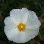 Cistus_obtusifolia_thrive_