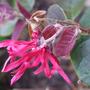Loropetalum_chinense_flower