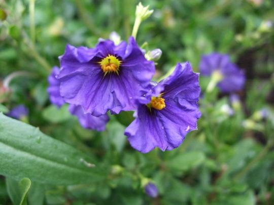 Solanum rantonettii (Solanum rantonnetii (Royal Robe))