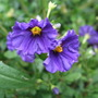 Solanum rantonnetii (Royal Robe)
