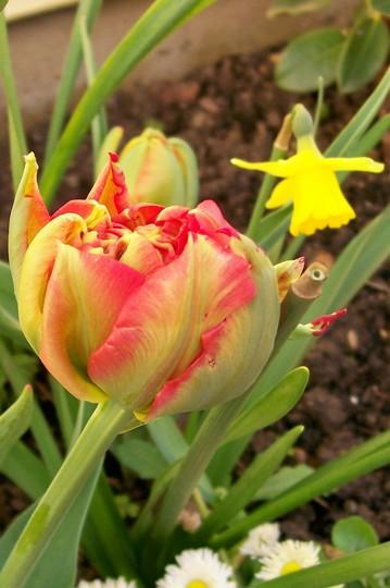 mystery tulip (tulipa)