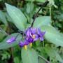 Woody Nightshade (Solanum dulcamara (Woody Nightshade))
