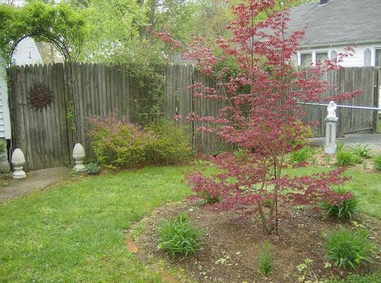 Red Maple - front garden