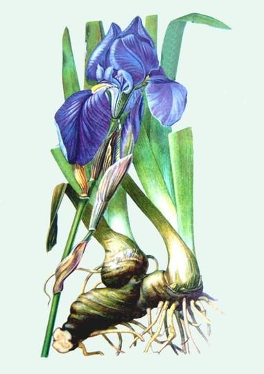 Iris (Iris germanica (Orris))