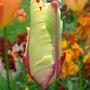 Tulip 'Flaming Parrot' in bud - April 2009