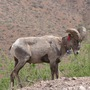 Desert Bighorn Sheep Ram (Ovis canadensis nelsoni)