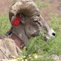 closeup headshot Desert Bighorn Sheep Ram