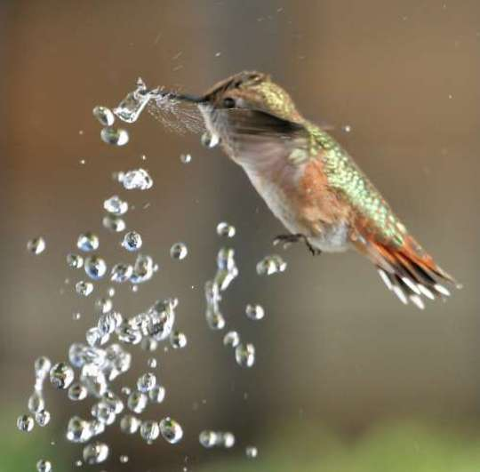 Hummingbird breaking water droplet with its beak while dancing in fountain spray