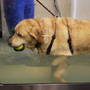 Lab_hydrotherapy_lucy_walking_treadmill_55293_
