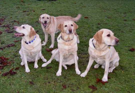 Maggie's Guide Dog Family