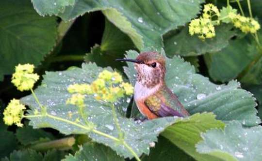 Hummingbird bathing on Leaf (Alchemilla mollis (Lady's mantle))