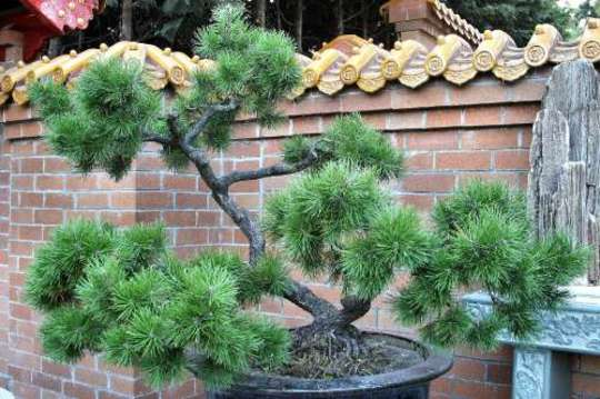 large Bonsai Tree (bonsai tree)