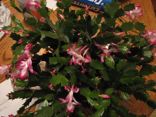 christmas cactus (S. bridgesii)
