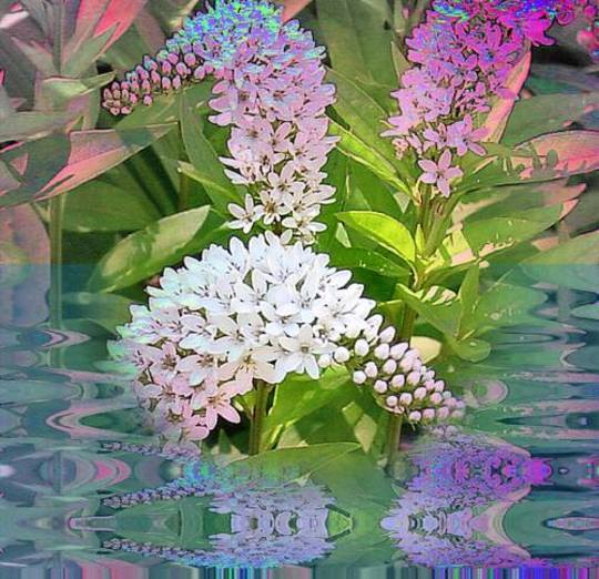 Floral Fairy Dust Reflections  (Lysimachia clethroides (Gooseneck loosestrife))