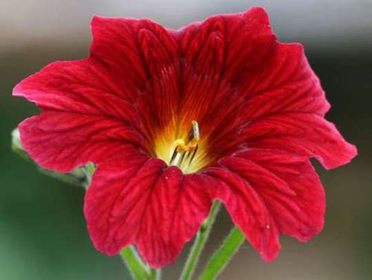 Velvet Flower - salpiglossis (velvet flower, salpiglossis)