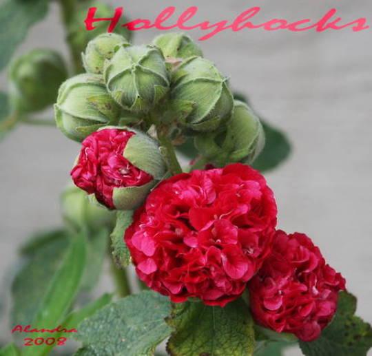 Hollyhock Buds (alcea rosea)