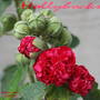 Hollyhock_buds_50232_
