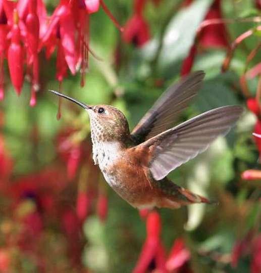 Hummingbird Flower Dance