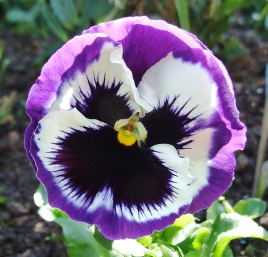 Another one. (Viola x wittrockiana)