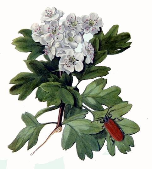 Prunus Spinosa (Prunus spinosa (Blackthorn))