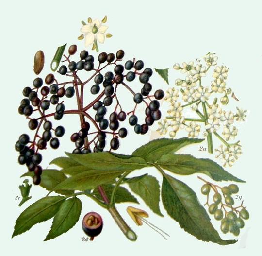 Elder Flower (Sambucus nigra (Elder).)