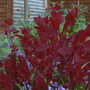 Smoke bush new leaves.