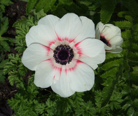 Anemone de Caen 'Bicolor'  (Anemone de Caen)
