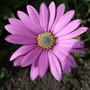 Osteospermum_cannington_roy_