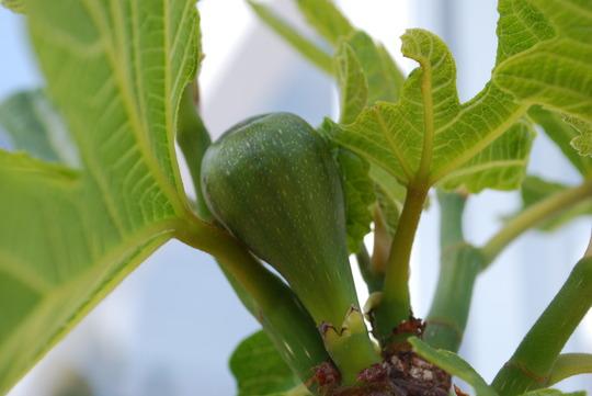 First Fig......... (Ficus carica (Fig))