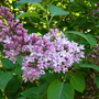 common lilac (Syringa vulgaris (Common lilac))