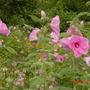 Hibiscus (Hibiscus grandiflorus)
