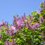 A glorious morning. (Syringa vulgaris (Common lilac))