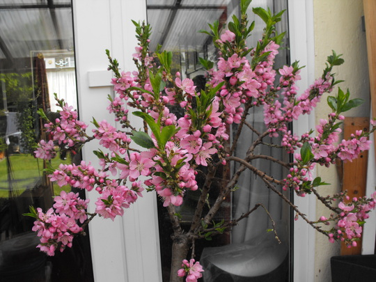 Nectarine in full bloom.