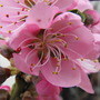 Blossom close~up Nectarine............