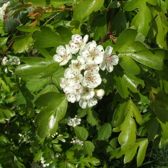 Blackthorn (Prunus spinosa (Blackthorn).)