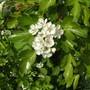 Blackthorn (Prunus spinosa (Blackthorn).)