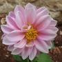 my flowers /Dahlia ( Park Princess ) (Dahlia Pinnata (Park Princess ))