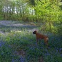 Harvey and Bluebells