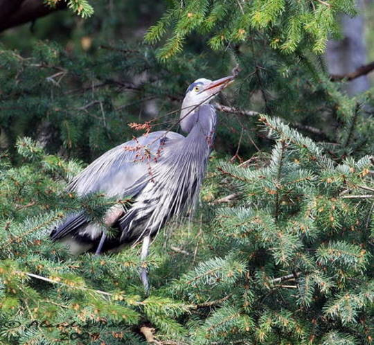 Great Blue Heron gathering Nest Twigs