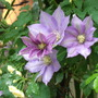 Clematis HF Young with Rosa Bankshire
