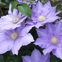 Clematis HF Young
