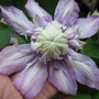Clematis Magic Fontaine