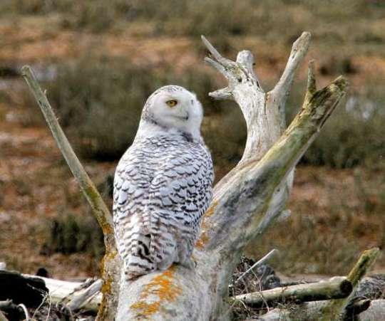 Snowy Owl on Weathered Log