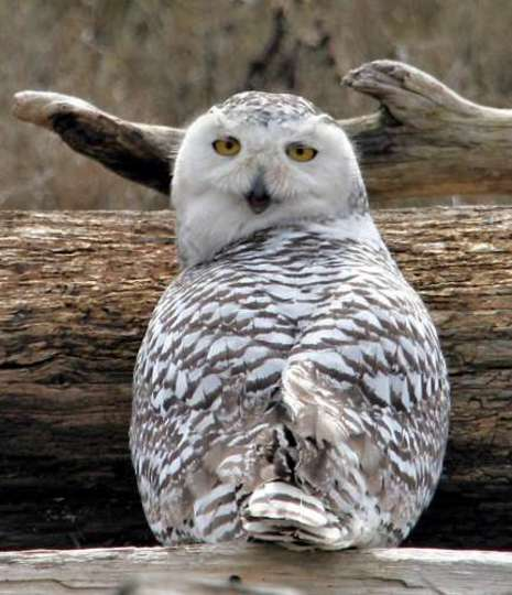 Snowy Owl Beauty in the Wild