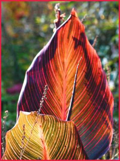 Canna Leaves in Autumn Light (Canna indica (Indian shot plant))
