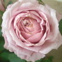Lilac Rose.jpg