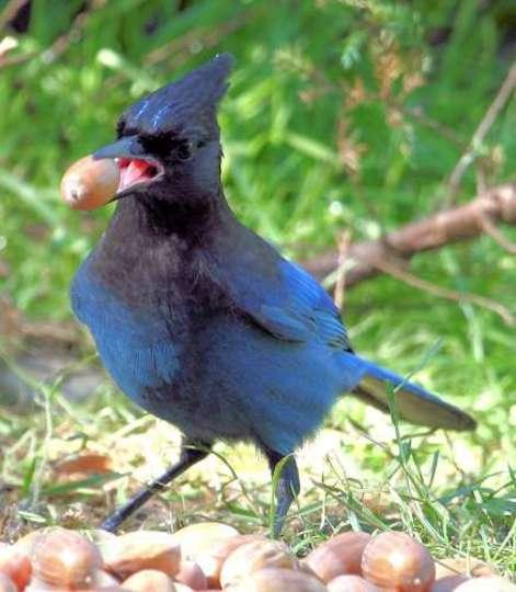 Steller's Jay with acorn in beak