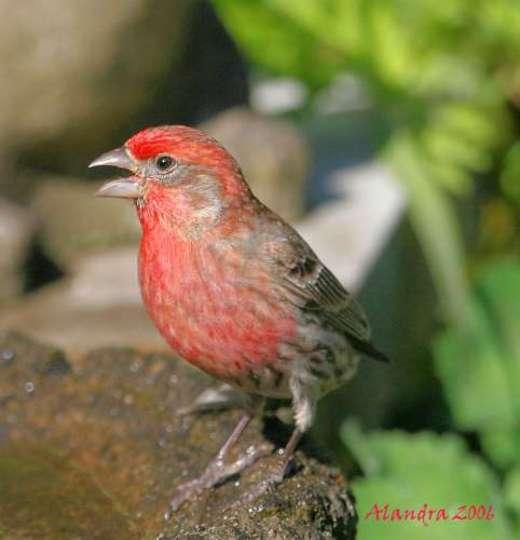 Red House Finch Singing beside bird bath